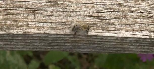 čebele-januarja
